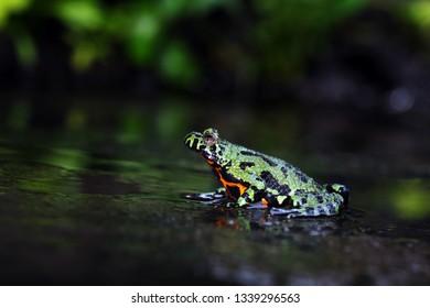 Oriental Fire Bellied Toad, Fire belly toad, bombina orientalis