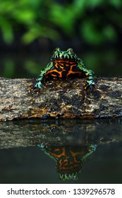 Oriental Fire Bellied Toad, Fire belly toad