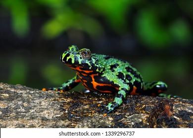 Oriental Fire Bellied Toad closeup on wood