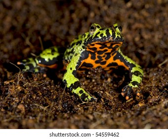 oriental fire bellied toad male in defensive pose showing belly, china, green frog