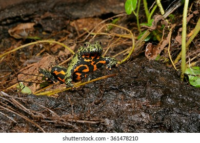 Oriental fire-bellied toad (Bombina orientalis) male