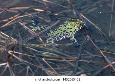Oriental fire-bellied toad in pond.