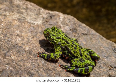 Oriental fire-bellied toad sitting on a rock in Seoraksan national park, South Korea