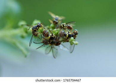 Oriental Fruit Flies (Bactrocera dorsalis) with their distinctive yellow and black marking on its thorax and abdomen, swarm the flowers of a holy basil plant.