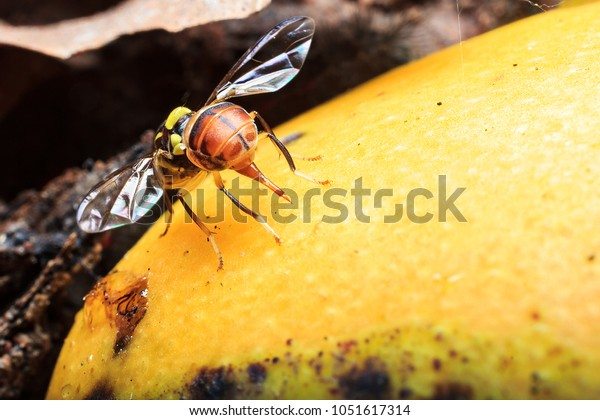 Oriental Fruit Flies Laying Eggs On Stock Photo (Edit Now