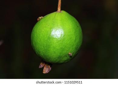 Oriental fruit fly (Bactrocera dorsalis) spawn on guava. adult oriental fruit fly.