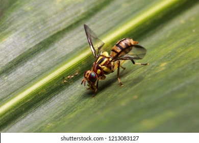 Oriental Fruit Fly - Bactrocera dorsalis on the green leaf