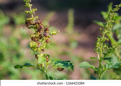 A Lot of Oriental fruit fly (Bactrocera dorsalis Hendel) on the Holy basil.Copy space