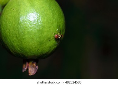 Oriental fruit fly (Bactrocera dorsalis) spawn on guava. adult oriental fruit fly. Females lay eggs in groups of three to 30 under the skin of host fruits.