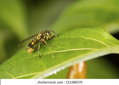 Oriental Fruit Fly on Firecracker Chili Plant Non sharpen
