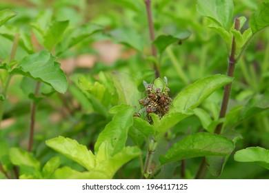 Oriental fruit fly on the Holy basil. (Bactrocera dorsalis Hendel)