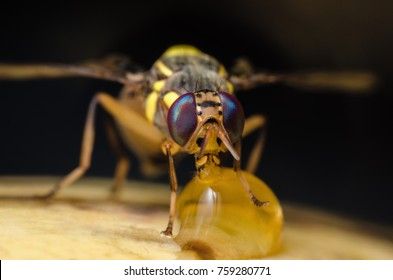 Oriental fruit fly,Bactrocera dorsalis (Hendel),a very destructive pest of fruit,sucking sweet from ripe mango, macro shot.