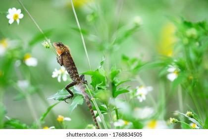 Oriental garden lizard (Calotes versicolor) - Garden lizards are relaxing on tree branches, camouflage garden lizards. Close up chameleon details.