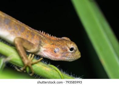 Oriental garden lizard - Calotes versicolor , Garden lizard , Changeable lizard.
