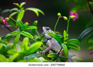The oriental garden lizard, eastern garden lizard, bloodsucker or changeable lizard (Calotes versicolor) is an agamid lizard found widely distributed  - Shutterstock ID 2007798860