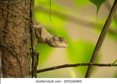 The oriental garden lizard, eastern garden lizard or changeable lizard is an agamid lizard found widely distributed in indo-Malaya. It has also been introduced in many other parts of the world.