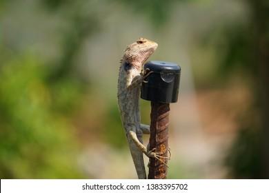Oriental garden lizard, Eastern garden lizard, Changeable lizard, Dragon lizards, Old World lizards