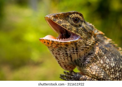 Oriental garden lizard with its mouth open