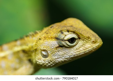 oriental garden lizard in nature