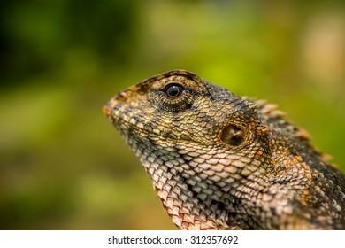 Oriental garden lizard with a reflection of sun in its eye
