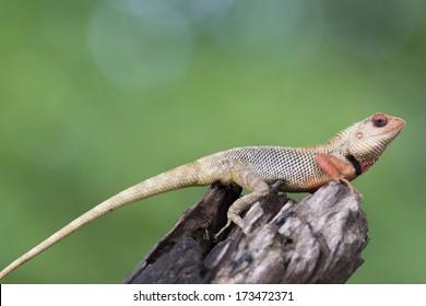 oriental garden lizard sitting on tree bark - Garden Lizard