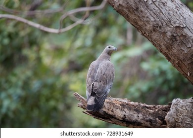 Oriental honey buzzard, Pernis ptilorhynchus, wild medium sized bird of prey, perched on branch in indian woodland. Bird feeds on bees, wasps and cicadas. Wildlife photography in Ranthambore, India.