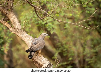 Oriental Honey Buzzard or Pernis Ptilorhyncus in green background at  Ranthambore Tiger Reserve National Park, Rajasthan, India