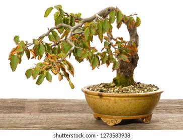 Oriental hornbeam (Carpinus orientalis) bonsai tree as half cascade in a pot