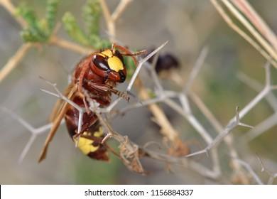 Oriental Hornet or Multiple Hornet (Vespa orientalis)