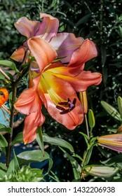 Oriental Hybrid Lily (Lilium hybridum) in garden, Moscow region, Russia