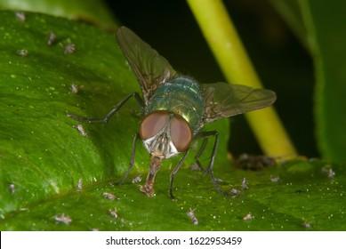 The Oriental latrine fly (Chrysomya megacephala)