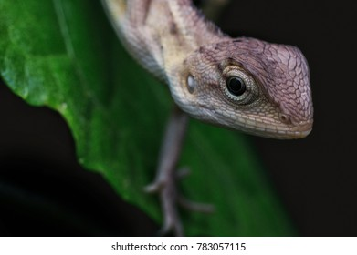 oriental lizard in nature at night