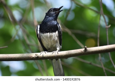 Oriental magpie rabin. this is common bird of India. and natitional bird of Bangladesh