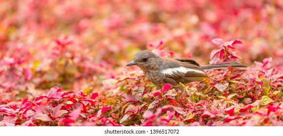 An Oriental magpie robin bird standing in a reddish color bush in a park and finding food on a worm day, Panorama view, Natural background concept