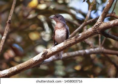 Oriental Magpie Robin, Copsychus Saularis / The beautiful magpie on a branch. The oriental magpie-robin is the national bird of Bangladesh.