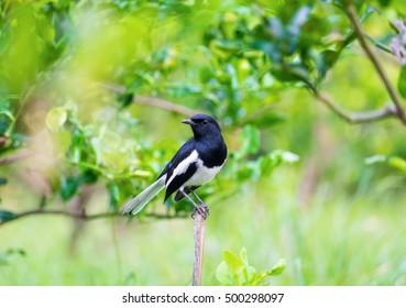 Oriental magpie robin, Copsychus saularis, bird hold on branch