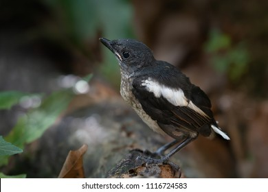 Oriental Magpie Robin fledgling bird perching on log . Bird in black and white color.