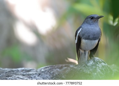 Oriental magpie robin on a rock with Sunlight and green background. Copy space