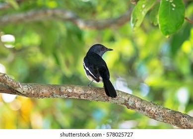 Oriental magpie robin,Copsychus saularis. Bird sitting on branch in nature green bokeh background