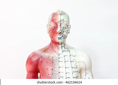 Oriental Medicine education model, Oriental Medicine model in hospital , figure on white background
