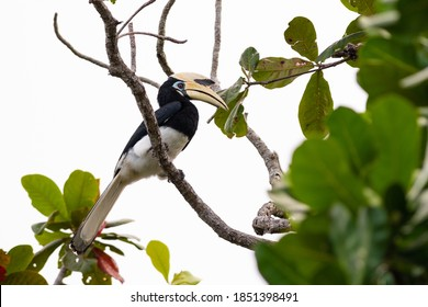 Oriental pied hornbill (Anthracoceros albirostris) perching on a branch