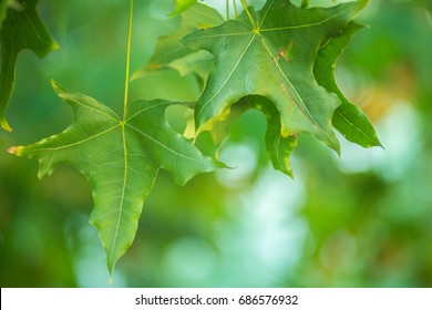 Oriental plane tree leaves and fruits background.