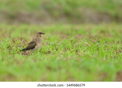 oriental pratincole (Glareola maldivarum). grasshopper-bird, swallow-plover, wader, waterbird. Perching on agricultural field. Hong Kong.