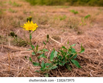Oriental Salsify flower(Tragopogon orientalis) - also known as meadow goat's-beard. View of flower with blurred dry meadow in tehe background.