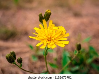 Oriental Salsify flower(Tragopogon orientalis) - also known as meadow goat's-beard. Close-up view of flower with blurred dry meadow in tehe background.