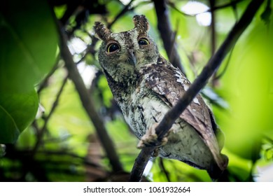 Oriental Scops Owl(Otus sunia) catch on the branch in day time in nature