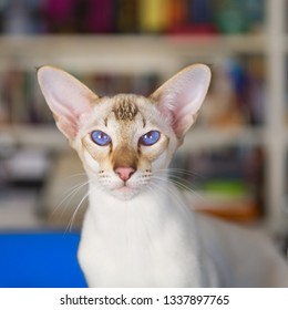 Oriental shorthair with blue eyes in interior