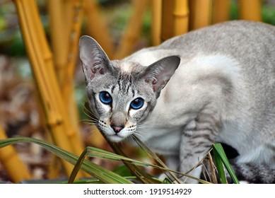 Oriental Shorthair cat blue eyes