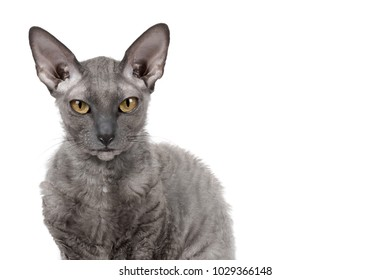 Oriental shorthair cat sitting and watching, gray animal pet, domestic kitty, purebred Cornish Rex. Isolated on white background. Copy space.