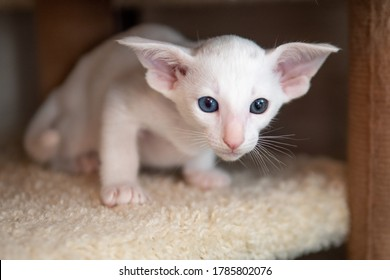 Oriental shorthair cat sitting and watching, white animal pet, domestic kitty, purebred Cornish Rex. Copy space.